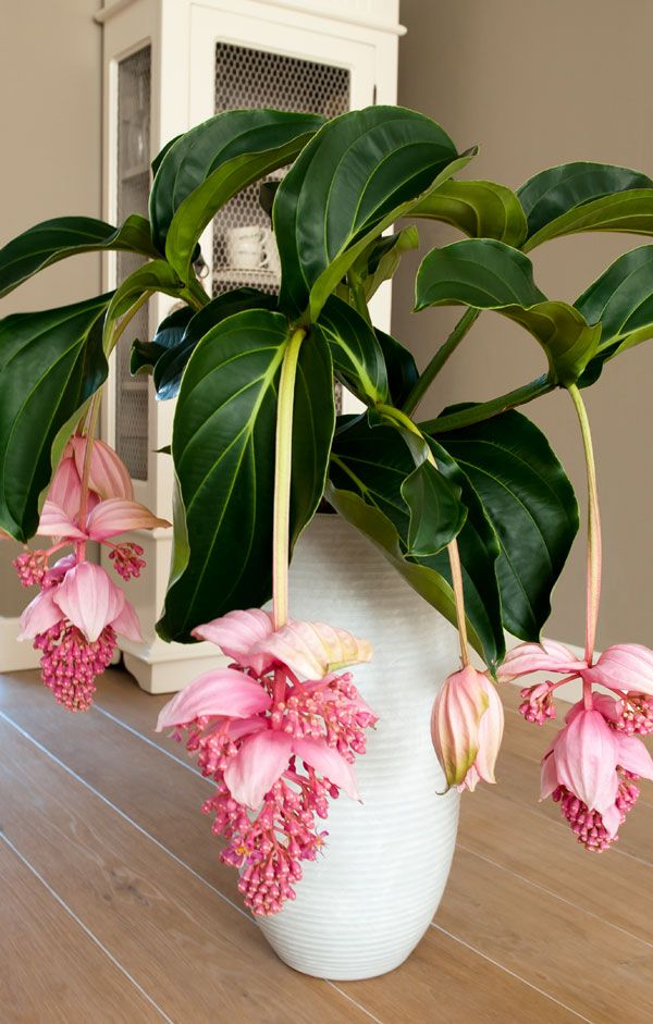 Medinilla-8091... how lovely, i'd love to try this houseplant(grows to zone 10 and is a houseplant outside it's zone).. just a beauty.