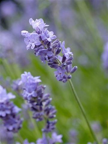 lavandula_angustifolia_fiore.jpg