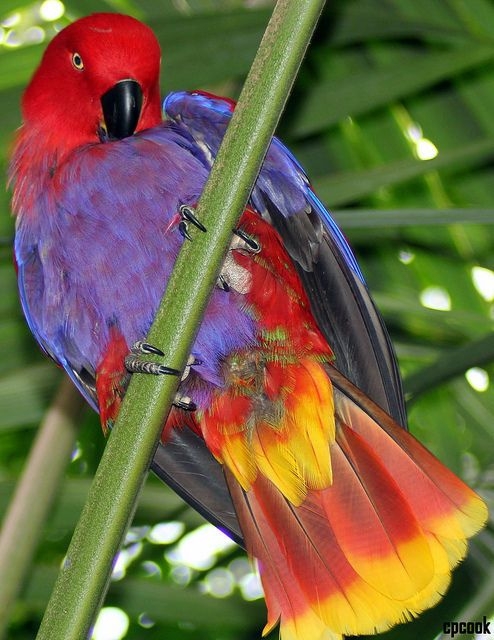 Eclectus Parrot: Pretty Bird, can you say that, Pretty Bird. Yes, I think you are too.  By cpcook