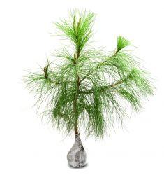 Pinus Rp 125,000