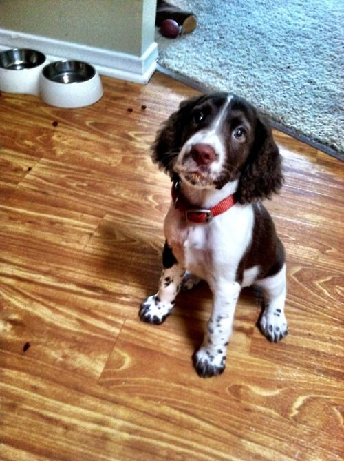 Springer Spaniel Pup, w/ symetrical face marking and heavy ticking.  Field stock not show stock.