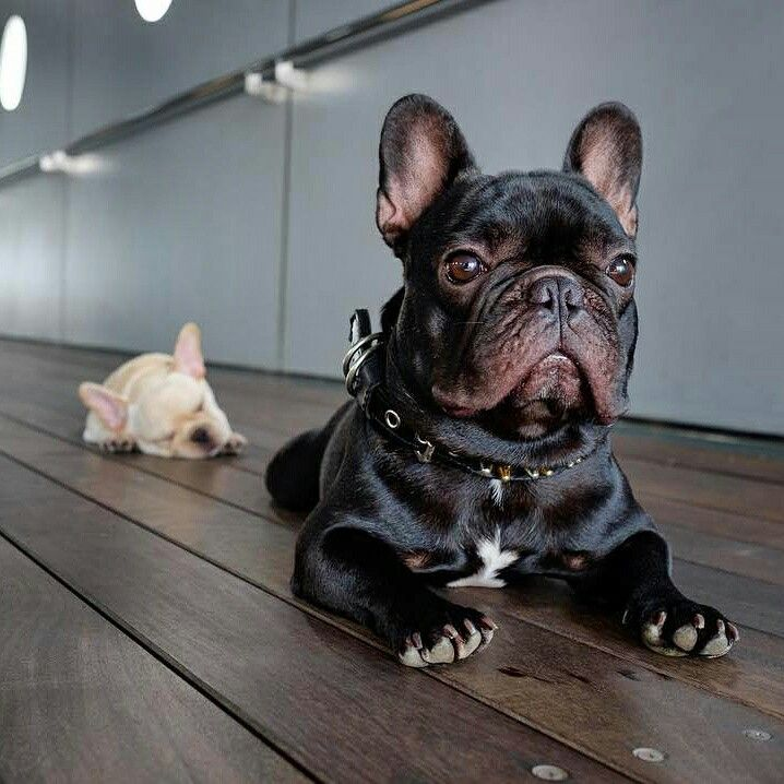 Best 25 Funny French Bulldogs Ideas On Pinterest French Bulldog Puppies Cute French Bulldog