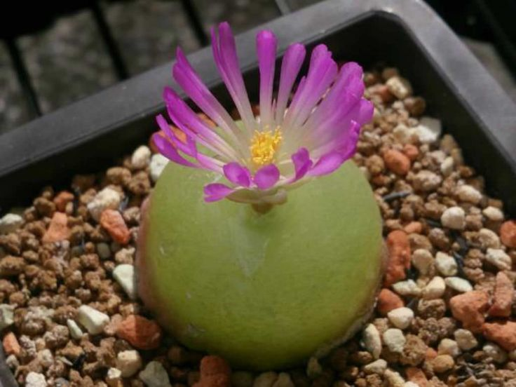 Conophytum burgeri - Burger's Onion is an onion-shaped, single-bodied, succulent plant, that is possibly the most unusual of all the species of the...