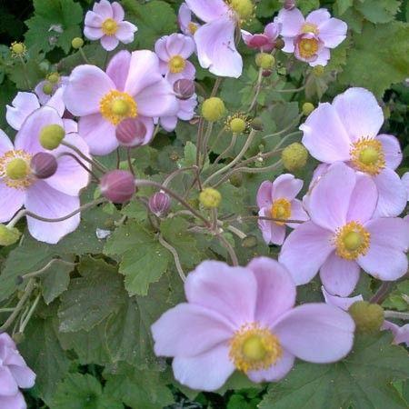 Idéale en massif ou sous-bois. Floraison de la fin d'été aux gelées.
