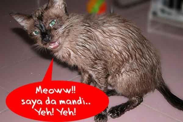 Pilih Kucing Shorthair atau Kucing Longhair? - http://kucingraas.co.id/pilih-kucing-shorthair-atau-kucing-longhair/