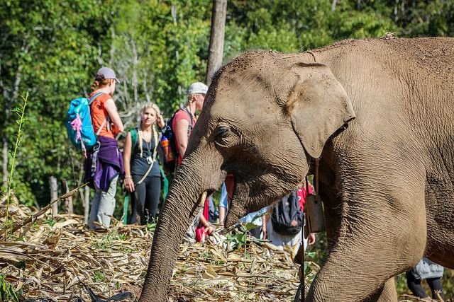 A happy free elephant roaming around the hills at our elephant rehabilitation project in Chiang Mai, Thailand!