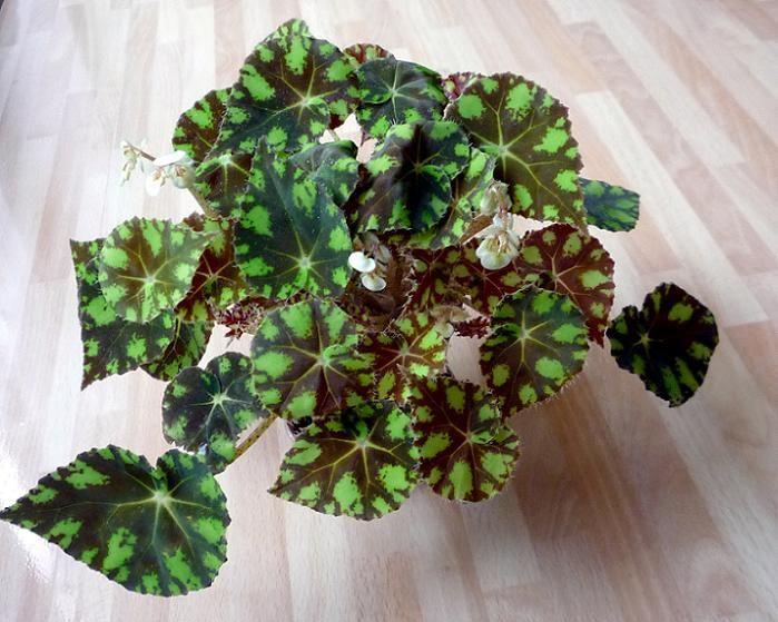 Begonia Bowerae Tiger Eyelash Begonia Begonias Pinterest Search And Eyelashes