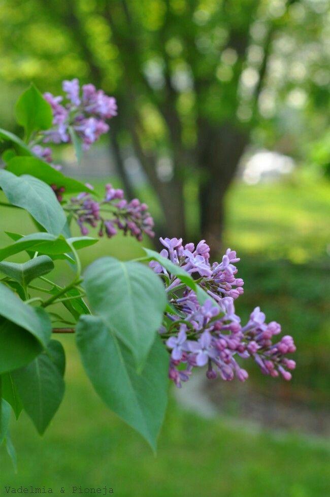 Lilac, Vadelmia & Pioneja