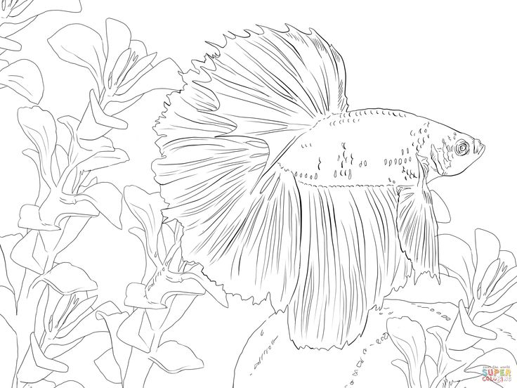 betta fish coloring Pages | Betta Fish Coloring Online