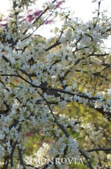 558 Best Images About Gardening On Pinterest Shrubs