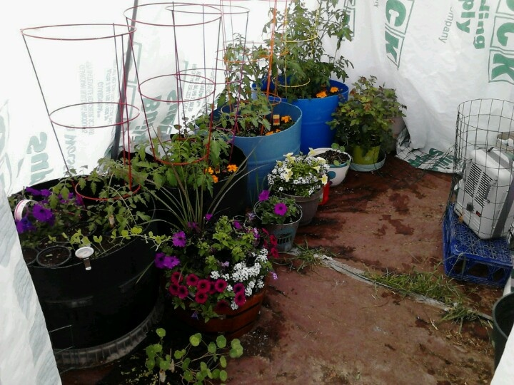 Recycle water storage barrels for container gardening Note tomatoes planted with marigolds to keep the roundworms away Research panion plants to help