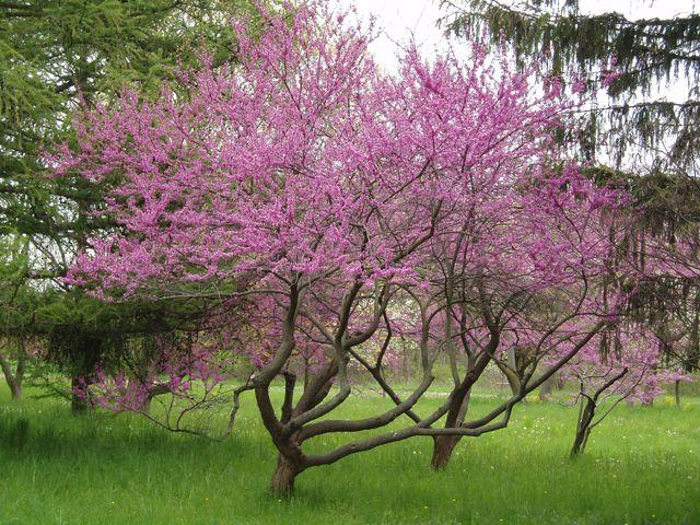 Eastern redbud cercis canadensis 39 northern strain 39 should for Arbol ciruelo de jardin