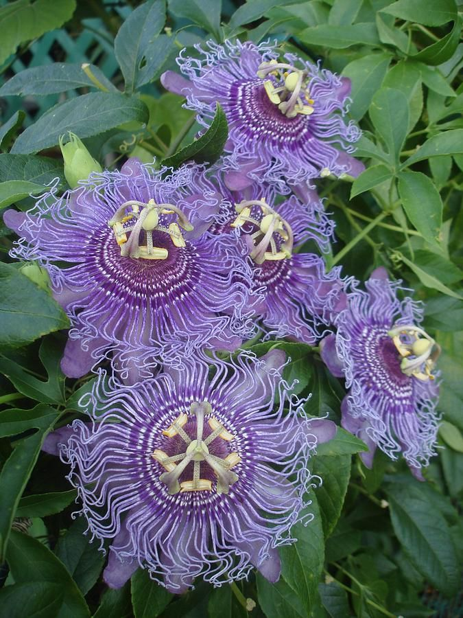 Passionflower, Passiflora incense