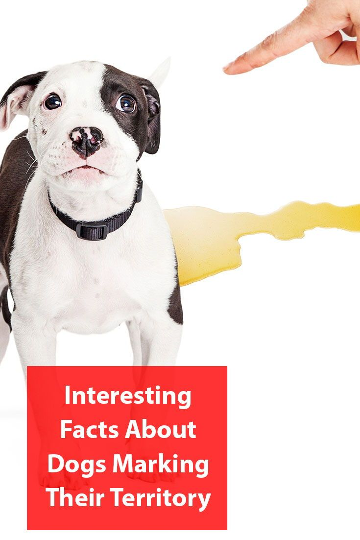 Why Do Dogs Mark Territory Dogs Dog Facts Dog Behavior
