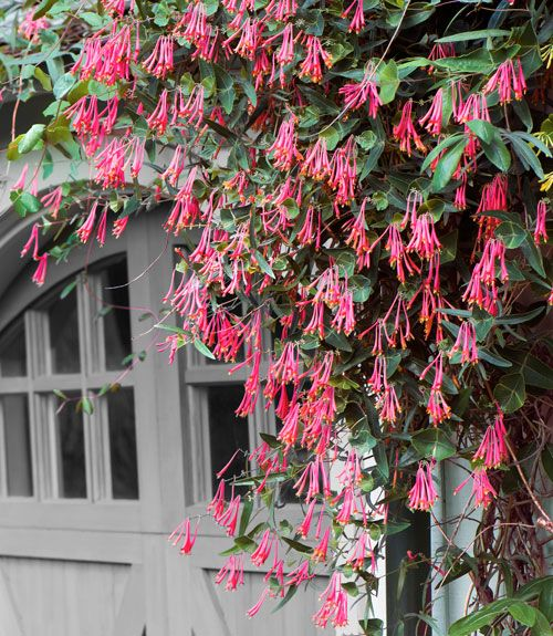 Throughout this perennial's long bloom time, from mid-June through September, its trumpet-shaped blossoms can perfume your entire garden. Coral honeysuckle will twine around anything in its path, scaling a 10- to 15-foot trellis in a single season, and attract hummingbirds as well.   - CountryLiving.com