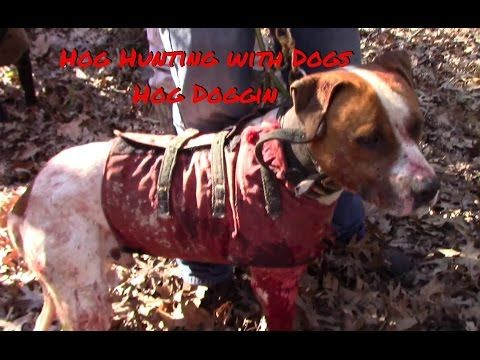 Hog Hunting with Dogs - Hog Doggin - YouTube