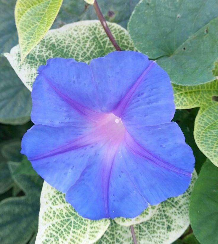 Cretan blue flower