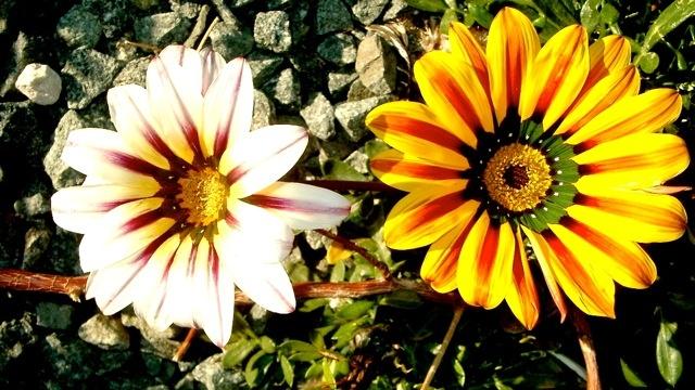 Spanske blomster