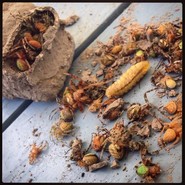 BIRDS & DAFFODILS: THE MUD DAUBER/DIRT DOBBER IS YOUR FRIEND~COLLECTING SPIDERS:
