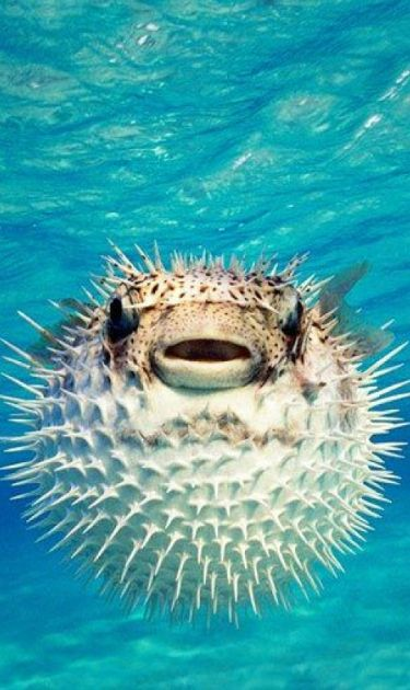 17 best images about all the pretty fish on pinterest for Puffer fish puffing