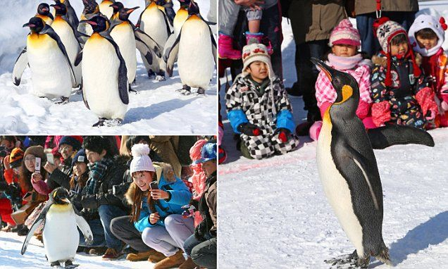 Japanese zoo takes obese penguins on a walk through the snow