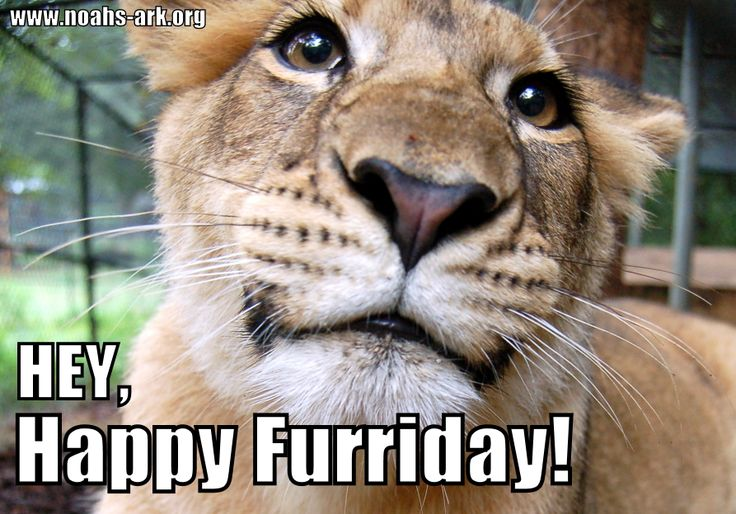 Funny Animal Friday Meme : Happy furriday from liberty friday lion