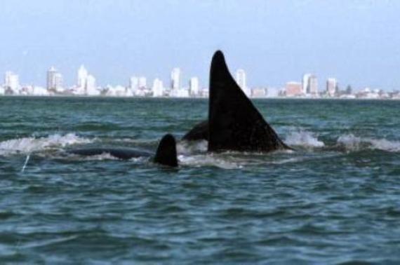 La temporada de ballenas en Uruguay es desde el mes de julio hasta el mes de noviembre. Es más frecuente observarlas en los meses de agosto y octubre en los departamentos de Rocha y Maldonado. Espe...