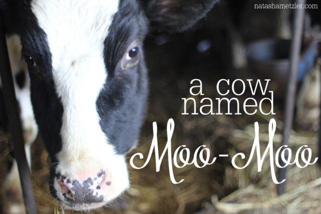 Meet A Baby Calf Named Chocolate Dairy Moos - MVlC