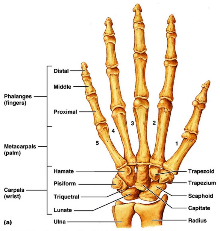 hand bones diagram - Yahoo Search Results Yahoo Image Search results