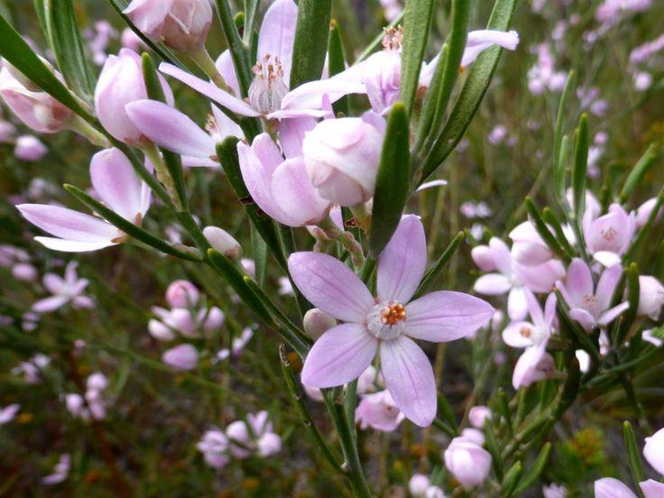 Eriostemon sp, (also Epacridaceae), aka the wax flower. It isn't really a wax flower...