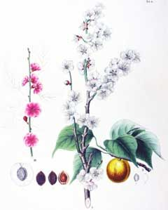 Prunus mume, Japanese Apricot, Japanese Flowering Apricot, Ume. Fruits delicious for flavoring drinks and pickled.