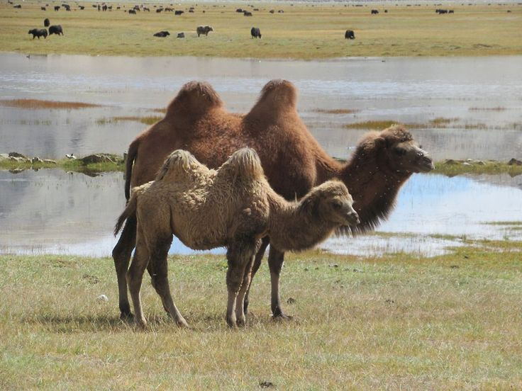 Bactrian camels were once a mainstay of the Silk Road from China to Central and South Asia. These beasts were grazing near Lake Karakol between Kashgar and Tashkurgan, Xinjiang, China.