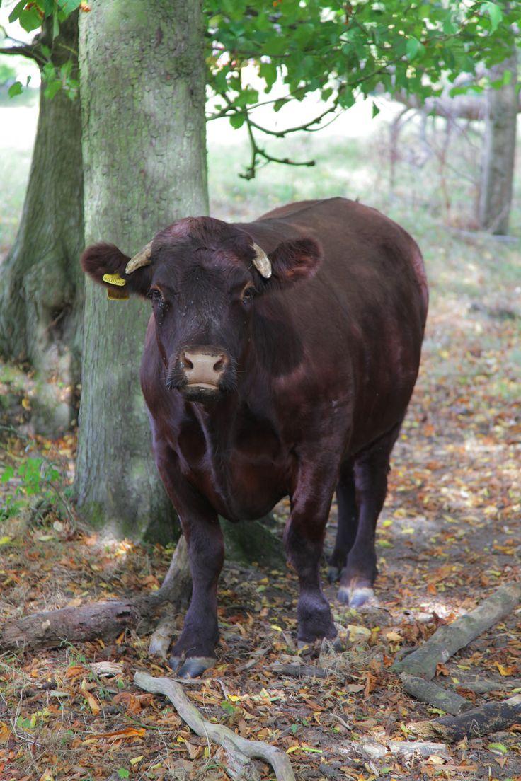 https://flic.kr/p/MDXjkR | South East England (Farm Life) | Nice kentish bull  -  www.adamswaine.co.uk