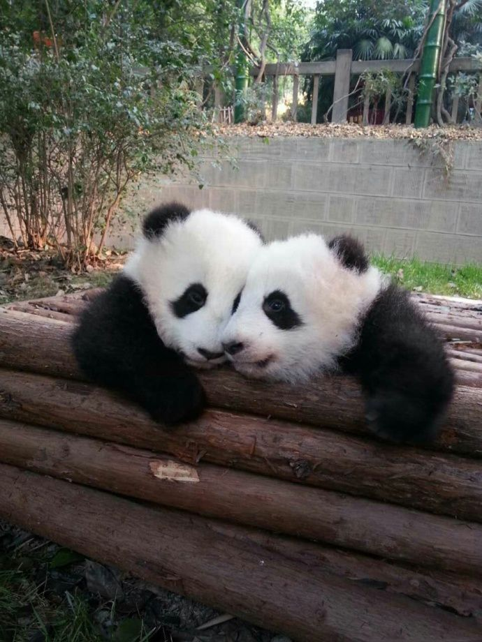 Lovely and cute panda cubs