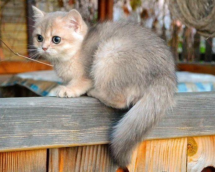 Blue Golden British Shorthair Mainecooncat Bengal Cat Facts British Shorthair Cats Cat Facts