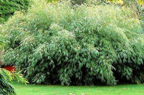 bambou parapluie fargesia rufa jardin pinterest. Black Bedroom Furniture Sets. Home Design Ideas
