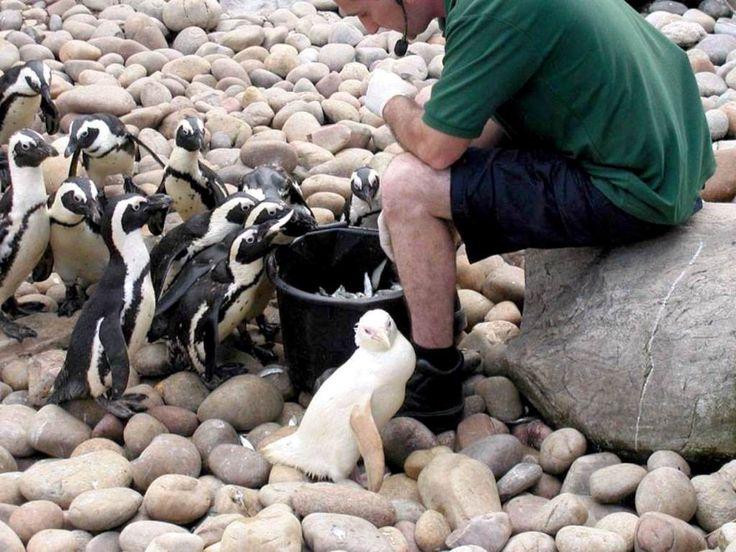 Yavru Penguenler besleniyor