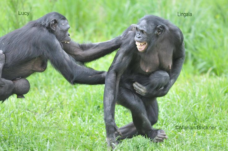 "Frans de Waal - Public Page ·    BONOBO TENSIONS  Marian Brickner caught rare conflict between two female bonobos on camera: ""Lucy and Lingala, holding their babies on the way to get some food thrown over the moat by the keeper. Lucy's baby is 10 months old and Lingala's baby about nine. They are ""discussing"" positioning in the troop.""  La Vallée des Singes, near Poitiers, France: http://www.la-vallee-des-singes.fr/"