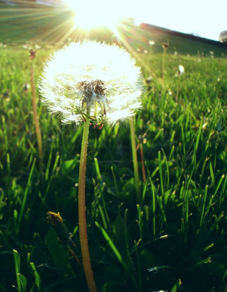 dad is shinning down through the dandelion: Book Club, Favorite Things, Sun Ray, Health Benefits, Mothers Nature, New Book, Hunger Games, Dandelions, Flower