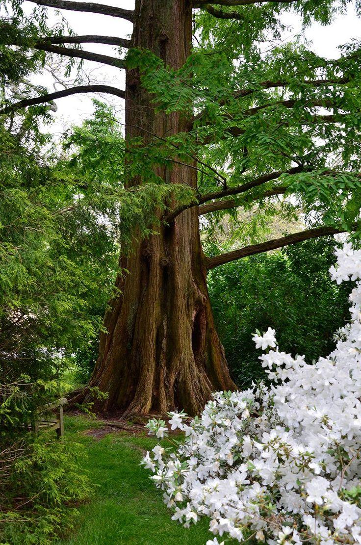 Winterthur Azalea Woods