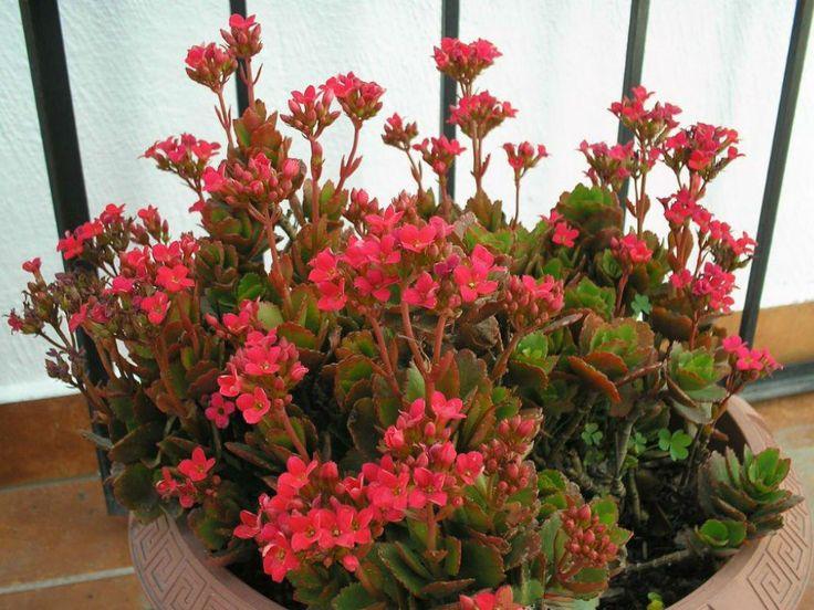 Kalanchoe blossfeldiana – Flaming Katy - See more at: http://worldofsucculents.com/kalanchoe-blossfeldiana-flaming-katy-christmas-kalanchoe