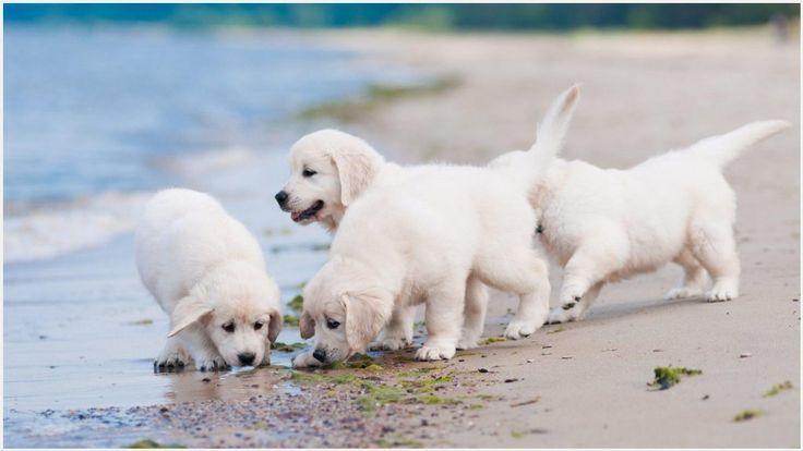 Weisse Welpen Spielen Am Strand Wallpaper Labrador Retriever Dog