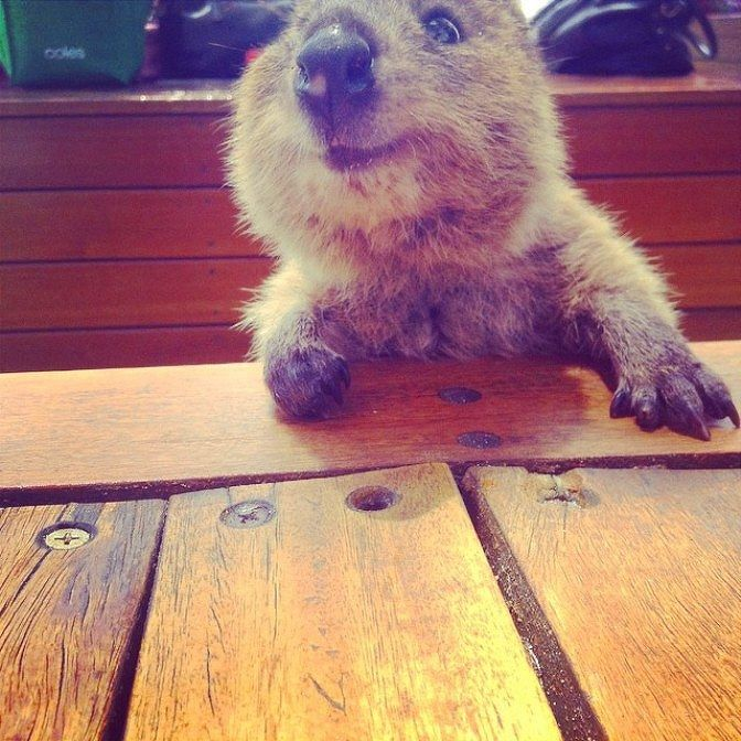 QUOKKA---- To cute!!!!! They look fake... but their not. They live in Australia. :)
