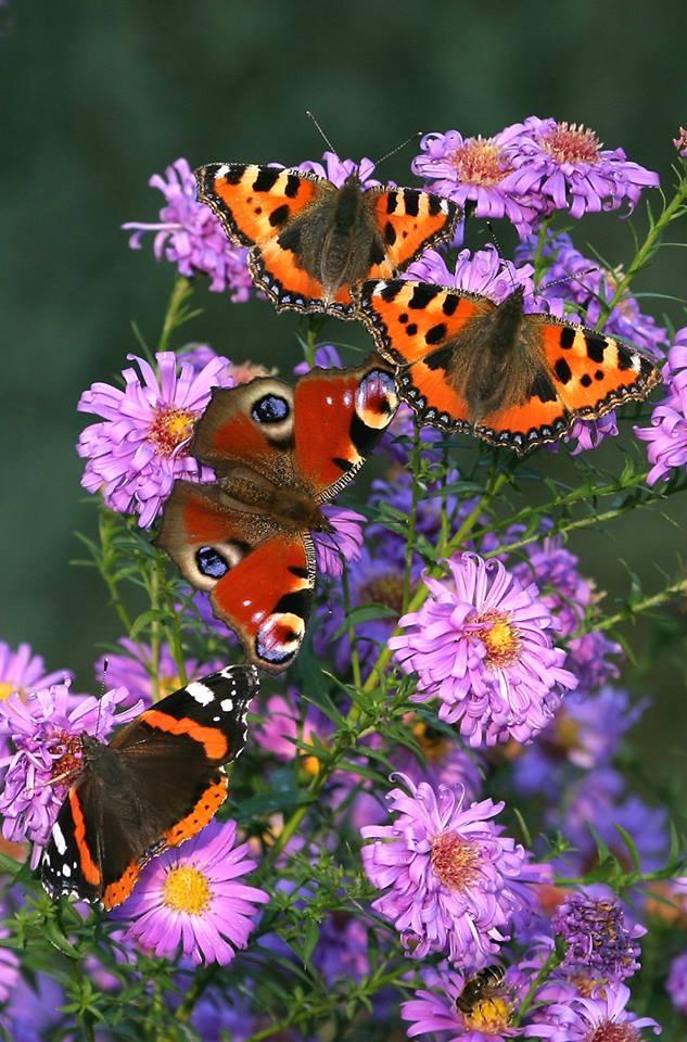 80 Two Small Tortoiseshell Butterflies Aglais Urticae