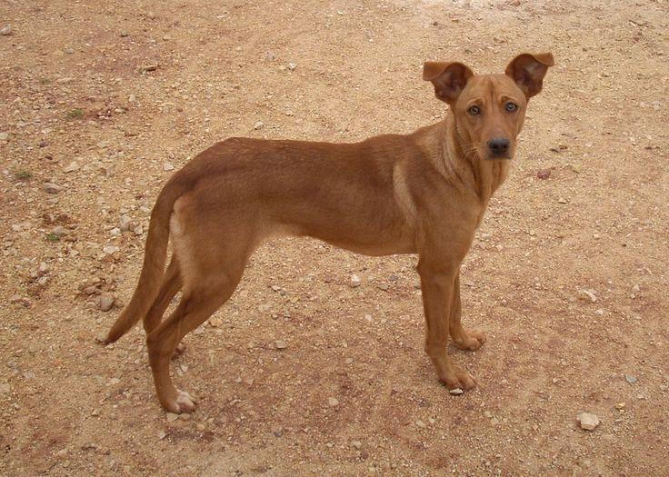Van wie is deze hond? Lees het op https://zininportugal.wordpress.com/2015/03/29/perdida-de-verloren-hond/