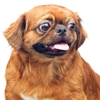 Learn how to treat your Pekingese's wound. http://www.pekinews.com/dog-bite-treatment-learn-how-to-treat-your-pekingeses-wound/