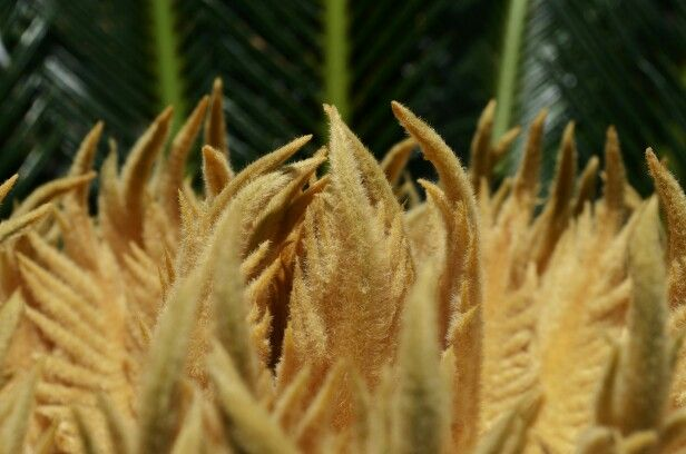 New leaves - cycad