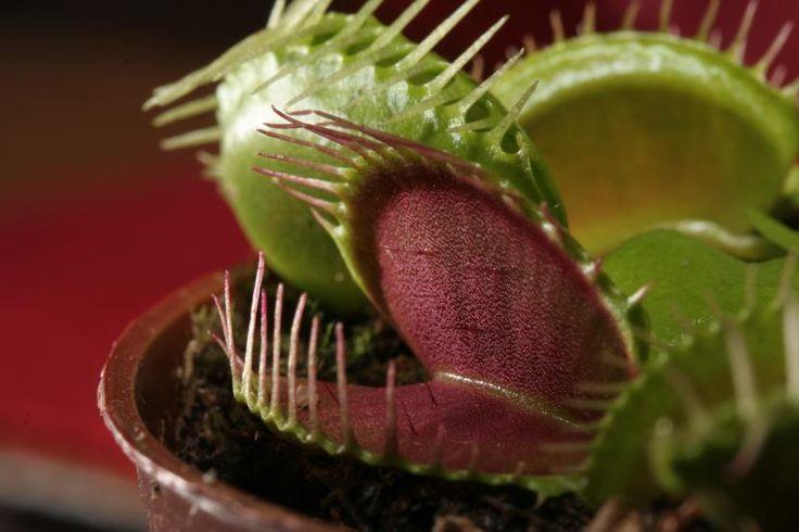Cómo proteger las plantas carnívoras del frío - http://www.jardineriaon.com/como-proteger-las-plantas-carnivoras-del-frio.html