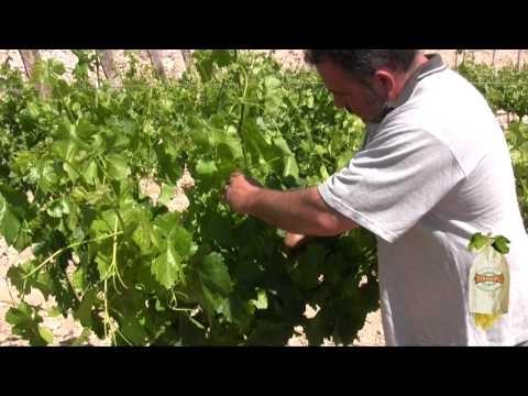 На видео можно увидеть, как она выглядит после виноградной лозы. Столовый виноград Виналопо долина в Испании. Это единственное, что виноград созревает в бумажный пакет.