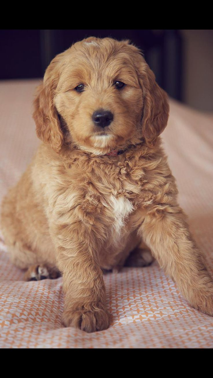 Golden Retriever Puppies Utah Craigslist - Animal Friends
